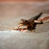Lizzard in Sunshine Royalty Free Stock Images