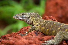 Lizzard sur le rouge Photographie stock