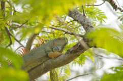 Lizzard on the tree. Green lizzard is sleeping on the tree Royalty Free Stock Photos
