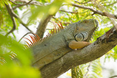 Lizzard on the tree Royalty Free Stock Photos