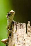 Lizzard on the tree Royalty Free Stock Photo