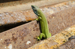 Lizzard verde europeo Fotografia Stock