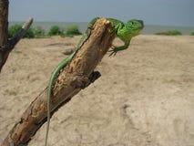 Lizzard verde su un albero Fotografia Stock