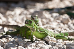 Lizzards. Picture of two green lizzards take one morning in Aruba while they were getting ready for feeding time stock image