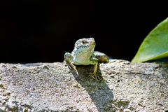 Lizziard. A Lizard shot at the Cathedral Royalty Free Stock Photography