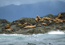 ljud för hav för Kalifornien clayoquotlions Arkivbild