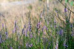 Ljung blommar makro fotografering för bildbyråer