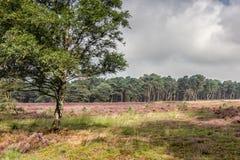Ljung i Kalmthout Belgien arkivfoto