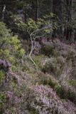 Ljung och träd på den Abernethy skogen i den Cairngorms nationalparken av Skottland Royaltyfri Fotografi