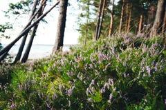 Ljung vid det baltiska havet Fotografering för Bildbyråer