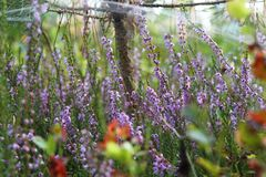 Ljung vulgaris som Calluna växer i skog royaltyfri bild