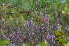 Ljung vulgaris som Calluna växer i skog royaltyfri fotografi