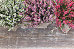 Ljungar på en träbakgrund Arkivfoto