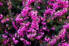 Ljungerica herbacea arkivfoto