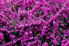 Ljungerica herbacea arkivfoton