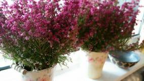 Ljungväxter i fönsterbrädan (den vulgaris callunaen) Fotografering för Bildbyråer