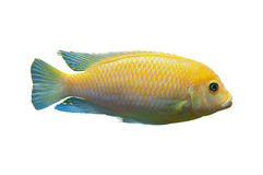 Ljus afrikansk fisk Metriaclima Arkivfoton