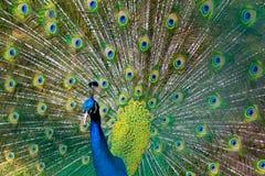 ljus avfärdad male påfågelsvan för fåglar Arkivfoton