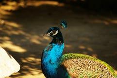 ljus avfärdad male påfågelsvan för fåglar Royaltyfria Bilder