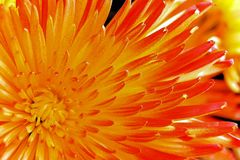 Ljus bakgrund av kronbladblomman av aster Royaltyfri Fotografi