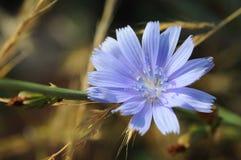 Ljus - blå blomma Fotografering för Bildbyråer