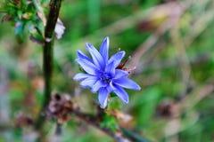 Ljus - blå blomma Arkivfoto