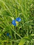 Ljus blå blomma i gräs arkivbilder