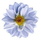 Ljus - blå blomma på isolerad vit isolerad bakgrund med den snabba banan closeup Härlig vit-blått blomma för design Da Arkivfoto