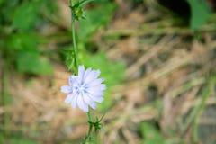 Ljus - blå cikoriablomma Arkivfoto