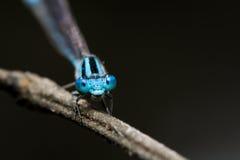 Ljus - blå ung slända royaltyfri fotografi