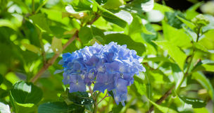 Ljus blå vanlig hortensia royaltyfri foto