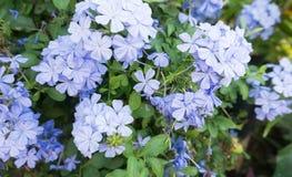 Ljus - blått blommar från Filippinerna royaltyfri bild