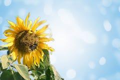 Ljus blomma av en solros på en blå abstrakt bakgrund Arkivfoto