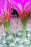 ljus blommamammillaria Arkivfoto