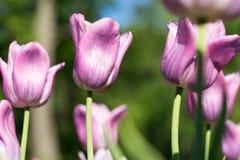 Ljus blomning av den purpurfärgade tulpan Arkivfoto