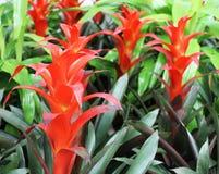 ljus bromelia blommar red Arkivfoton