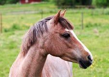 Ljus - brun hästprofilstående Fotografering för Bildbyråer
