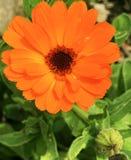 Ljus calendularingblomma i blom Fotografering för Bildbyråer