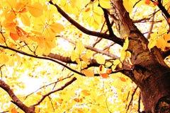 ljus canopy för höst royaltyfri fotografi