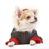 ljus chihuahua klädd jumpsuitvalp Royaltyfri Fotografi