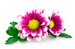 ljus chrysanthemumpurple Royaltyfri Bild