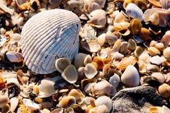 Ljus closeup av ett kammusslaskal överst av en säng av blandade mindre skal från en Florida strand Arkivbild