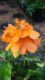 Ljus Crossandra blomma Royaltyfri Bild