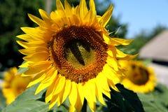 Ljus dag för solrosår Arkivfoto