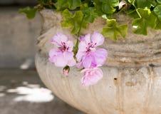 Ljus - den rosa pelargon blommar i en kruka, sydliga Italien Arkivbild