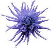 Ljus - den violetta dahliablomman, vit isolerade bakgrund med den snabba banan closeup Inget skuggar För design Ljust lurvigt flö Royaltyfri Bild