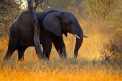 Ljus elefant för afton, solnedgång stort djur i naturlivsmiljön, Chobe, Botswana, Afrika Härligt aftonljus med elefanten bifokal fotografering för bildbyråer