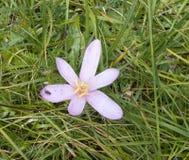 Ljus för höstkrokus - purpurfärgade blomningberg royaltyfri foto