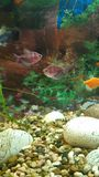 Ljus fisk i akvariet royaltyfria foton