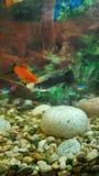Ljus fisk i akvariet royaltyfri bild